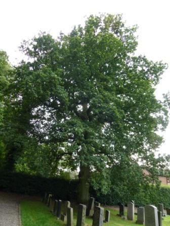 Oak, St Mary's graveyard, Castle Hill