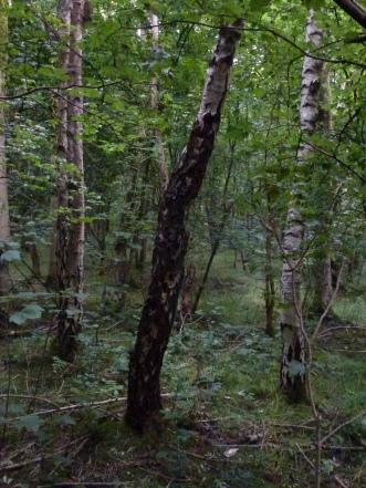 Birch trees, Carr Wood