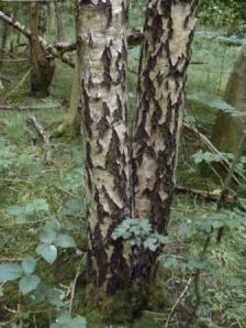 Birch trees. Carr Wood