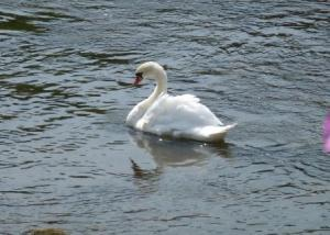 Swan on the Ribble