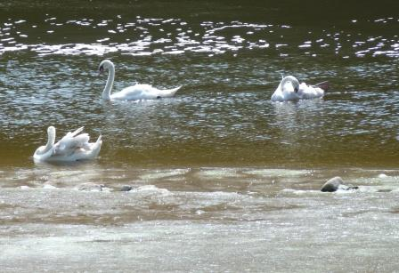 Swans on Ribble