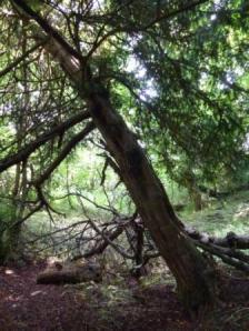 Leaning Yew, Faery Lane