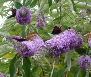 Peacocks on Buddleia
