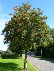 Rowan, Ribble Way, Penwortham