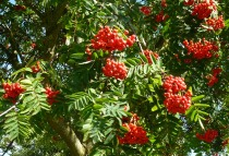 Rowan Berries, Ribble Way