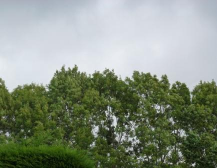 Wind swept trees, Penwortham