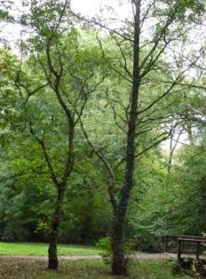 Alder trees, Greencroft Valley
