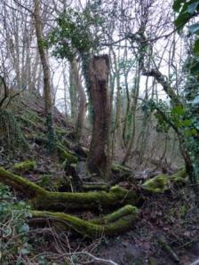 Dead Elms, cut down in Greencroft Valley