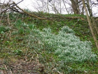 Snowdrops, Castle Hill