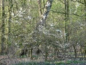 Birch and Blackthorn, Hurst Grange Park, Penwortham