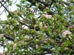 Apple blossom, Avalon orchards, Glastonbury