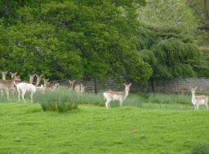 Fallow deer, Lydney Park