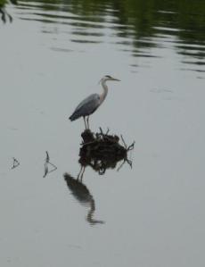 Heron, river Ribble
