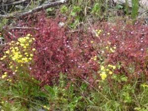 Herb Robert and Sow Thistle
