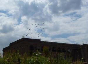 Pigeons over Penwortham Mill