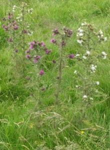 White Thistle and Marsh Thistle