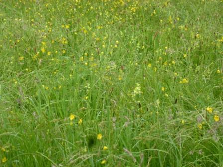 Buttercups, Sedges, Yellow Rattle
