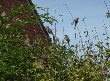 Sparrows and a starling