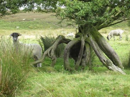 Sheep, Brinscall Moors