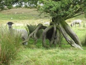 Sheep, Brinscall Moors