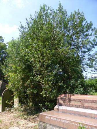 Holly Tree, Walton Churchyard