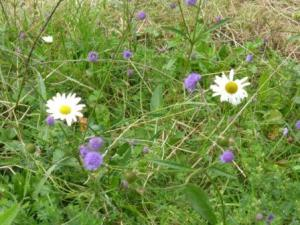 Ox-eye daisies and devil's bit scabious