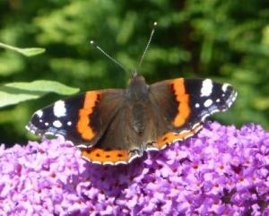 Red Admiral, Guardian 004 - Copy