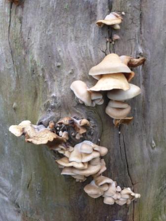 Fungi, Coin Tree