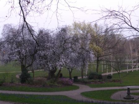 Wild Cherry and Birch Trees