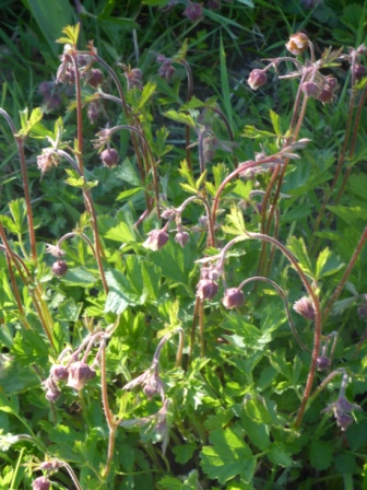 4.2 Water Avens