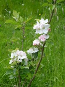 Apple Blossoms, Dumelow's Seedling