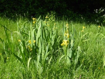 Yellow Flag Irises