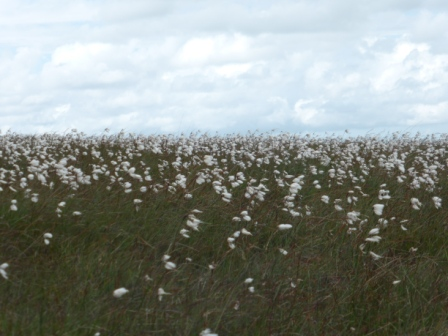 Cotton Grass, Winter Hill