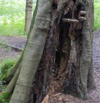 Beech Tree, Carr Wood