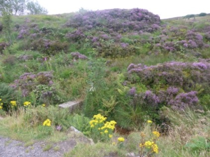 Heather and Ragwort