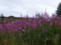 Purple Loosestrife and Himalayan Balsam