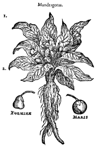 Mandragora, Wikipedia Commons
