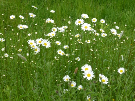 ox-eye-daisies-iii