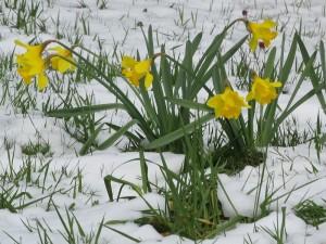 snow-daffodils (Public Domain)