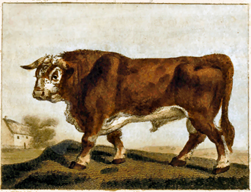 ox drawing Georges Louis Leclerc de Buffon (1707-1788)