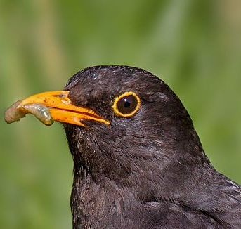 Common_Blackbird
