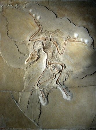 800px-Archaeopteryx_lithographica_(Berlin_specimen) - Copy