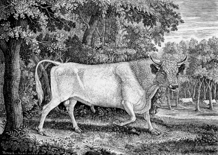 Chillingham_Bull_by_Thomas_Bewick_1789