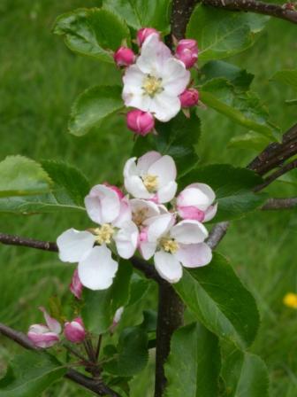 Epicure Apple Tree Blossoms