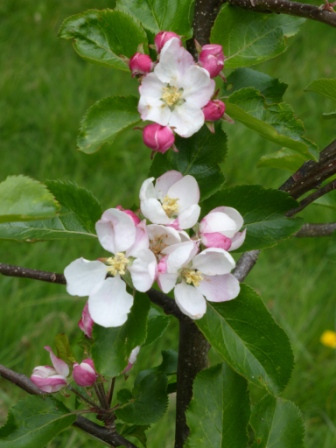 Epicure Apple Tree Blossoms