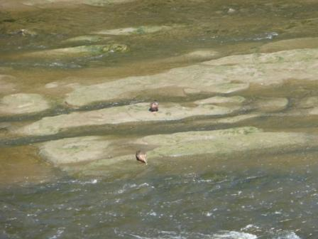 Sherwood Sandstone in Ribble from Penwortham Bridge (with ducks)