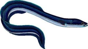 European_eel__Anguilla_anguilla_clipart_web