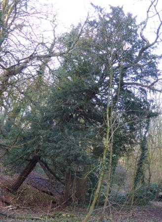 Leaning Yew February 2018