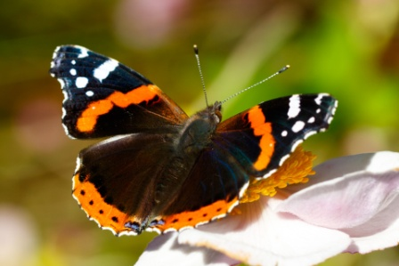 red-admiral-butterfly-1448108694roW-shutterstock