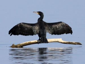 Cormorant_(Phalacrocorax_carbo)_(17)